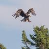 The Landing:  Bald Eagle (Haliaeetus leucocephalus) today on Lake Mooselookmeguntic, Oquossoc, Maine…  July 24, 2016.