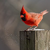 Mr. C comes in for a landing-  Cardinal (Cardinalis cardinalis)… January 13, 2016.