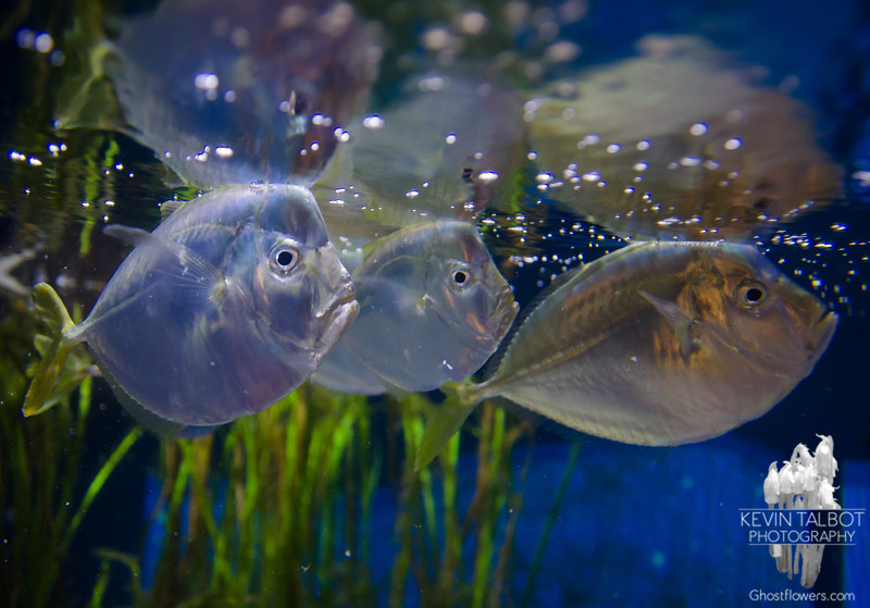 Atlantic Moonfish  (Selene setapinnis) today at Woods Hole Science Aquarium… March 10, 2016.