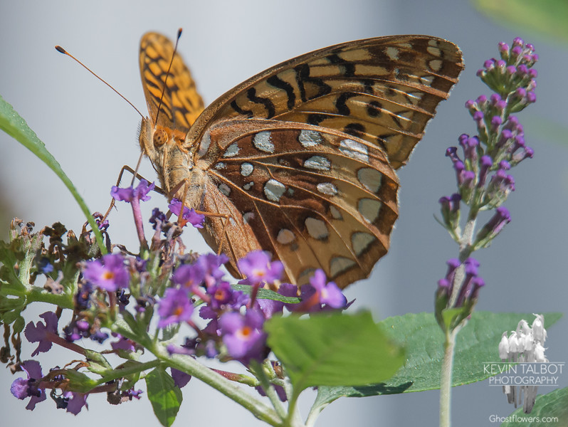 Today in the garden-Great Spangled Fritillary (Speyeria cybele)... September 14, 2016.