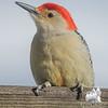 My pal- Red Bellied Woodpecker (Centurus carolinus)… February 12 , 2016.