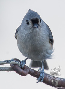 Dropped by to share a smile- Tufted Titmouse (Parus bicolor)... November 17, 2017.