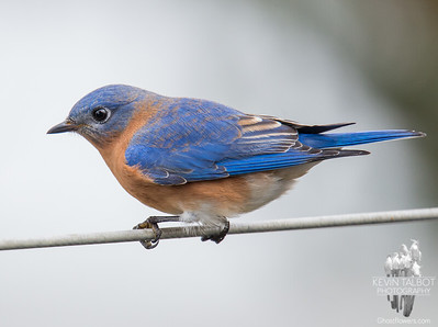 A spot of color on another bleak day- Eastern Bluebird (Sialia sialis)... November 26, 2016.