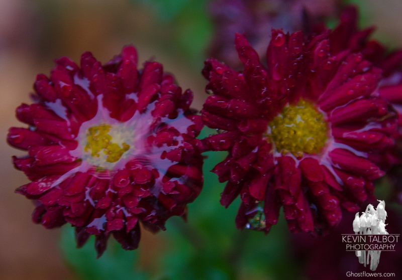 Mums in today's rain... November 25, 2016.