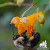 American Bumblebee (Bombus pennsylvanicus) on Spotted Touch-Me-Not (Impatiens capensis) AKA Orange Jewelweed... August 31, 2016.