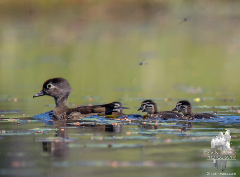 While you're waiting for loon chicks- Wood Duck (Aix sponsa)… June 24, 2016.