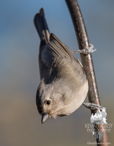 """""""And now for my Nuthatch impersonation.""""- Tufted Titmouse (Parus bicolor)... November 7, 2016."""