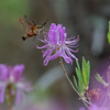 Hummingbird Moth (Hemaris thysbe) on Rhodora (Rhododendron canadense)… May 26, 2016.