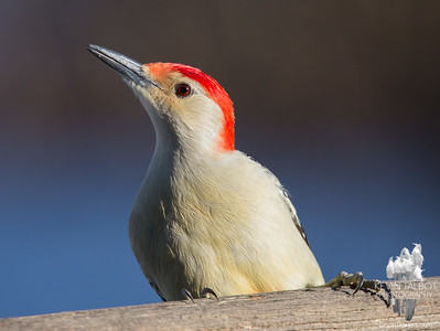 Mr. Red Bellied Woodpecker dropped by today to feast on suet... December 13, 2016.