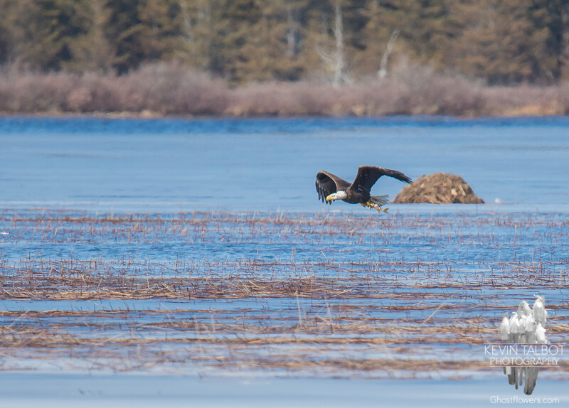 Today over the Powow- Bald Eagle (Haliaetus leucocephalus)… February 25, 2016.