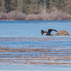 Today over the Powow- Bald Eagle (Haliaetus leucocephalus)… February 25, 2016.