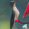 Seriously-How Bad Ass can you look when you're a Juvy Male Ruby-Throated Hummingbird... August 19, 2016.
