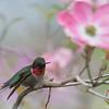 Ruby-throated Hummingbird (Archilochus colubris)… May 13, 2016.
