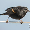 Red-winged Blackbird (Agelaius phoeniceus)-Scouts have been here for a week… March 3, 2016.
