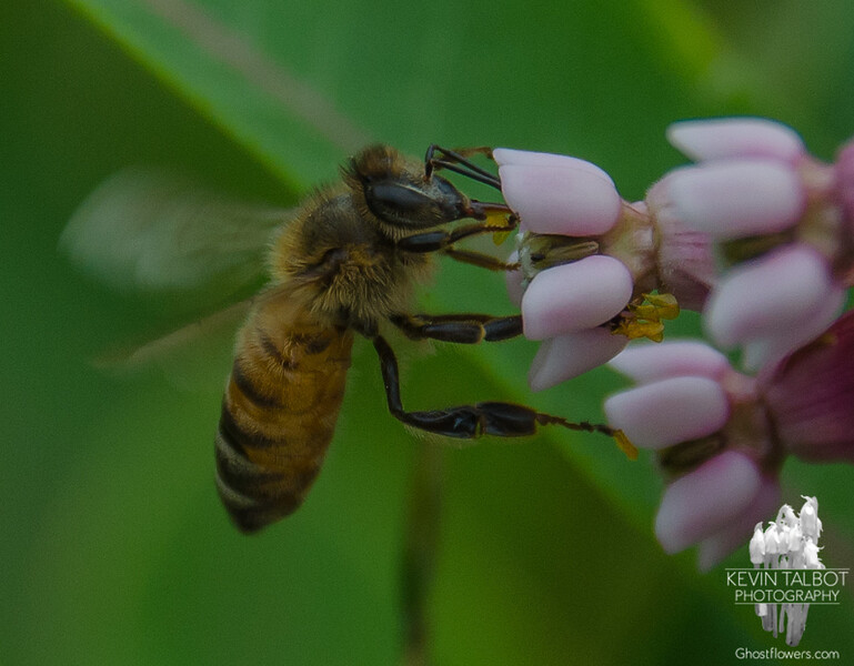 Another reason Milkweed is important: Honey Bee (Apis mellifera) on Milkweed (Asclepius syriaca)... June 28, 2016.