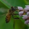 Another reason Milkweed is important: Honey Bee (Apis mellifera) on Milkweed (Asclepius syriaca)... June 28, 2016.