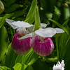 Fairies Wear Boots- Showy Lady Slipper (Cypripedium retinae)... June 18, 2016.