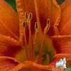 Tiger Lily Season is here- Tiger Lily (Hemerocallis fulva)... July 7, 2016.