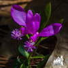 Today in Plaistow Town Forest- Fringed Polygala (Polygala paucifolia)… May 11, 2016.