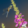 Today on the Powow- Blue Dasher (Pachydiplax longipennis) on Purple Loosestrife (Lythrum salicaria)... August 14, 2016.