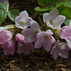 Mayflower-Trailing Arbutus (Epigaea repens) Mom's favorite! April 22, 2016.
