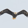 Patriotic Fly-by- Bald Eagle (Haliaeetus leucocephalus) at Lake Mooselookmeguntic… July 25, 2016.