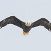 Patriotic Fly-by- Bald Eagle (Haliaeetus leucocephalus) at Lake Mooselookmeguntic… July 25, 2016.
