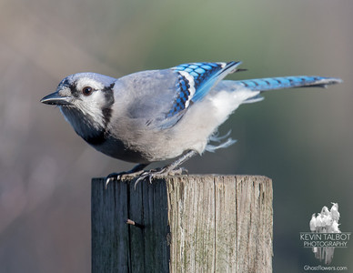 """Stopped by just to say, """"Hi!""""- Blue Jay (Cyanocitta cristata)... November 23, 2016."""