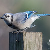 "Stopped by just to say, ""Hi!""- Blue Jay (Cyanocitta cristata)... November 23, 2016."