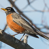 Late this afternoon- American Robin (Turdus migratorius)… April 12, 2016.