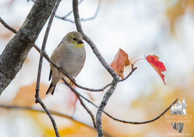 Little goldfinch wonders where all the leaves have gone... October 27, 2016.