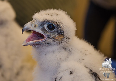 """Meet one of New Hampshire's newest residents-This is a 3 week old Peregrine Falcon chick. She and her 3 siblings were removed for a brief period this morning from their nest high above Elm Street in Manchester to be banded. I like to say, """"They got their jewelry."""" May 24, 2016"""