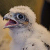 "Meet one of New Hampshire's newest residents-This is a 3 week old Peregrine Falcon chick. She and her 3 siblings were removed for a brief period this morning from their nest high above Elm Street in Manchester to be banded. I like to say, ""They got their jewelry."" May 24, 2016"