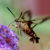 Today in our garden- Hummingbird Clearwing Moth (Hemaris thysbe)... July 28, 2016.