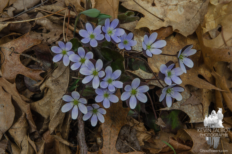 Today in a forest near you-Rising like The Phoenix from last year's fallen leaves- Round-lobed Hepatica (Anemone americana)... April 29, 2017.
