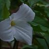 This morning on the cold, damp forest floor- Large White Trillium (Trillium grandiflorum)... May 1, 2017.