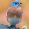 Color on a gray day- Eastern Bluebird (Sialia sialis)... November 6, 2017.