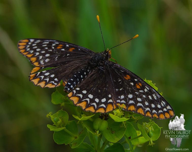 Today at Battis Farm- Baltimore Checkerspot (Euphydryas phaeton) on Cypress Spurge (Euphorbia cyparissias)... July 18, 2017.