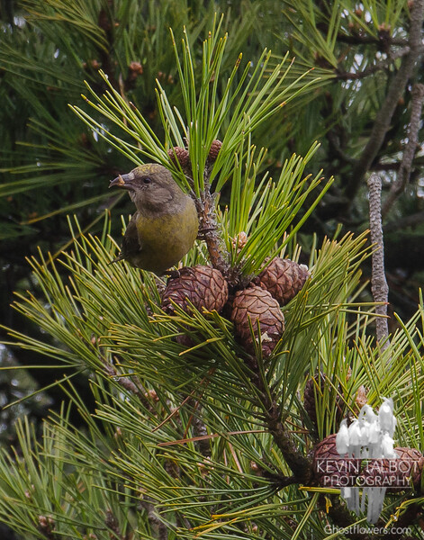 Today in Salisbury- Female White-winged Crossbill (Loxia leucoptera)... April 27, 2017.