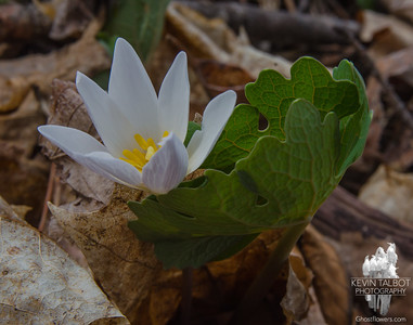 Today in southeast NH- Bloodroot (Sanguanaria canadensis)... April 20, 2017.