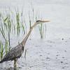 Fishing the Powow in the rain- Great Blue Heron (Ardea herodias)... June 6, 2017.