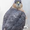 Today's visitation- Sharp-shinned Hawk (Accipiter stratus)... January 20, 2017.