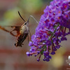 This afternoon in our garden- Hummingbird Clearwing Moth (Hemaris thysbe)... August 17, 2017.