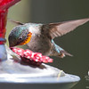 Mr. Ruby-throated Hummingbird (Archilochus colubris) dropped by for a cocktail this afternoon... May 20, 2017.
