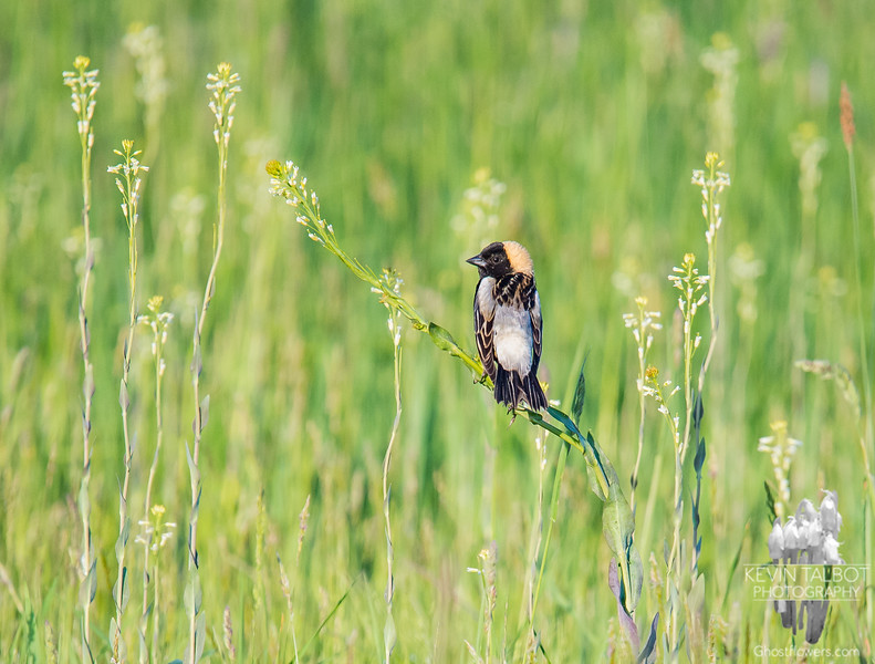 Today at Woodsom Farm- Mr. Bobolink (Dolichonyx oryzivous) guards his territory... May 24, 2017.
