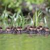 Make way for ducklings-Common Merganser (Mergus merganser)... June 11, 2017.