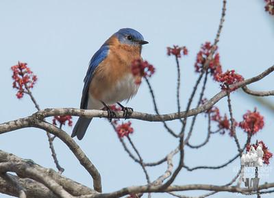 Bluebirds & maple buds... April 13, 2017.