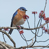 Bluebirds & maple buds... April 13, 2017.
