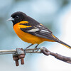 Judy's favorite- Baltimore Oriole (Icterus galbula)... May 8, 2017.