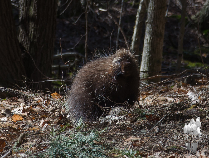 If you go down to the woods today-Porky was out enjoying the sunshine and warm temps... February 26, 2017.